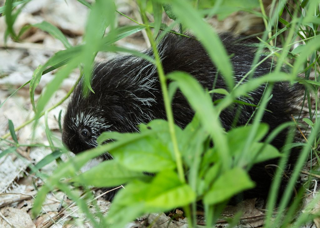 Closeup of a porcupine scurrying through the undergrowth of a forest.