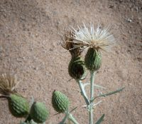 Pitcher's Thistle, a threatened plant species in Michigan, thrives at Arcadia Dunes.